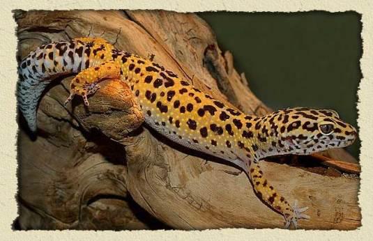 leopard-gecko-bg